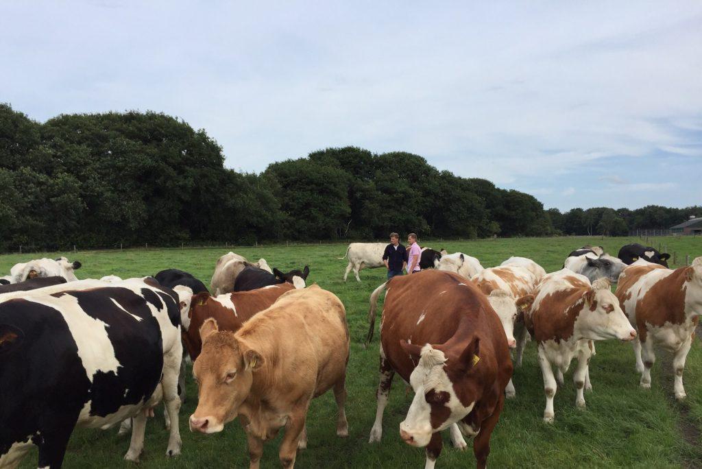 Koeien met de boer in de wei
